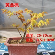 #Gold Potted BalconyplantRed Maple Japan-IndoorresistantMaple Bonsai Living Room SaplingRadiationBonsai Red Maple Bonsai
