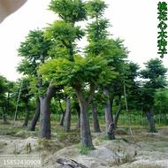 熱銷/林木種子新采桃花心木種子 桃花芯木種子榔色木種子南洋芯木種子/種子