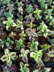 Assorted Coleus Live Plant (5 different kinds in a box)