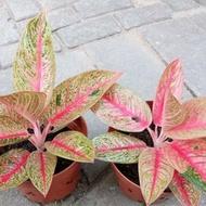 bibit bunga aglonema pink legacy