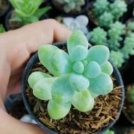 ไม้อวบน้ำ Succulent & Cactus พันธุ์ Sedum Lucidum Obesum กระถาง2นิ้ว