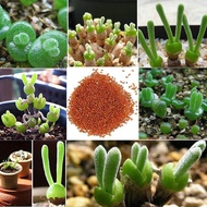 ขายส่ง 100 เมล็ด เมล็ดพันธุ์หูกระต่าย Monilaria Moniliforme Bunny Succulents พืชอวบน้ำ Monilaria Obconica ต้นกระต่าย Monilaria สร้อยไข่มุก เมล็ดพันธุ์นำเข้า กระบองเพชร cactus ไลทอป rabbit ของแต่งบ้าน ต้นไม้ ไม้ดอก ไม้ประดับ สวนถาด ต้นไม้จิ๋ว หูเชร็ด