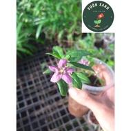 Cây Câu Kỷ Tử (Khởi Tử) giống Lycium chinenes (15k/1cây)