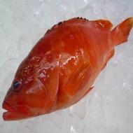 【澎湖七星斑(紅條魚)-約0.7kg/尾】新鮮魚貨乾淨處理產地直送(秤重計價)-2501003