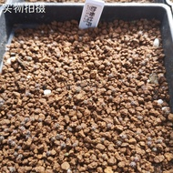 (多肉種子之園)一本刺 仙人球 裸萼球屬 一本刺種子 19年夏采取廠家直銷 熱賣
