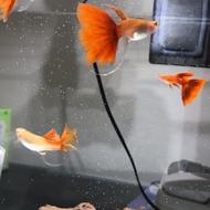 全紅白子 燕尾 緞帶 雙大C燕尾孔雀魚