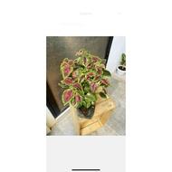 Lush Coleus Mayana lush live plant