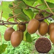 【Fast Delivery】Malaysia Ready Stock 300Pcs KIWI Seeds Actinidia Vine Seeds Benih Bunga Keladi Viral Seeds Fruit Air Plants Live Bonsai Tree Live Plant Benih Pokok Buah Pokok Bonsai Hidup Benih Pokok