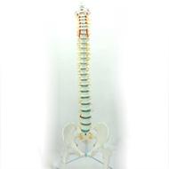 (ENOVO-272) 醫學人體脊柱模型脊椎骨盆頸椎胸椎腰椎整骨科骨骼模型
