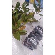 Laurel/Bay Leaf Seeds