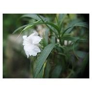白花矮性翠蘆莉=矮種白花翠蘆莉=白翠蘆莉