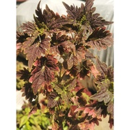 mayana plant /Rooted Coleus / mayana live plant variety