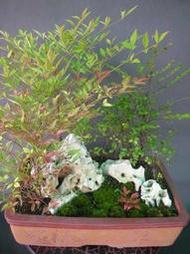 --紫檀.南天竹組合盆栽