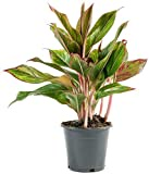 American Plant Exchange Aglaonema Red Chinese
