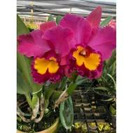 """Hot Sale กล้วยไม้แคทลียา แคทลียา โคราชเรด กระถาง6"""" ไม่ติดดอก แต่ไม้เป็นไซต์ให้ดอกได้แล้วค่ะ ราคาถูก ต้นไม้ มงคล ต้นไม้ มงคล รวย ทรัพย์ ต้นไม้ มงคล ปลูก ใน บ้าน ต้นไม้ มงคล ปลูก แล้ว รวย"""