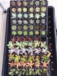 ไม้อวบน้ำ นำเข้า Succulent Plant (import) ไม้อวบน้ำน่ารักๆ สดชื่น ตั้งโต๊ะทำงาน Office/Home/Garden Size2.5-6.8cm. 1ต้น/PCs