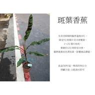 心栽花坊-斑葉蕉/5吋/香蕉/水果苗/香蕉品種/售價250特價200