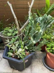 多肉植物 春風錦5吋7吋 9吋實物拍攝 小品盆栽