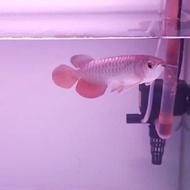 Arwana golden red HB 25cm