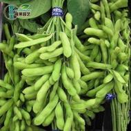 【毛豆種子】四季播青黃豆種子早熟高產抗病耐旱耐澇大田蔬菜種子