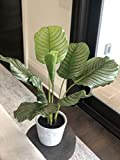 "Calathea Plant W/Pot 23"" for"