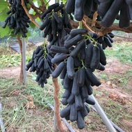 anak pokok buah anak pokok pokok hidup Benih Biji Anggur Sapphire