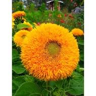 矮種泰迪熊向日葵種子(約20顆)_高約40~50cm