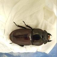 蘇門達臘巨扁鍬形蟲(亞齊省產)※甲蟲※成蟲※