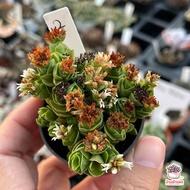 Crassula Emerald ไม้อวบน้ำ กุหลาบหิน Cactus&Succulent