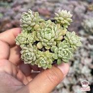 Echeveria Kimnachii ไม้อวบน้ำ กุหลาบหิน Cactus&Succulent