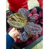 Calathea (Prayer Plant)