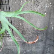 【植感再造】側芽●偏捲山採爪哇鹿角蕨 P.willinckii
