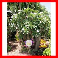 SALE !!พิเศษสุด ## เมล็ดแคคตัส Cactus ไม้อวบน้ำ เมล็ดพันธุ์ Pachypodium Rutebergianum (10 seeds) ##ต้นไม้ดอกไม้และเมล็ดพันธุ์