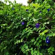 blue pea single layer small Plant - anak pokok bunga telang biru