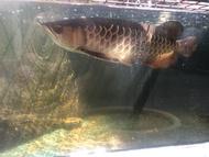 Arwana Golden red 37-40 cm