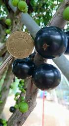 [樹葡萄批發] 阿根廷樹葡萄 大果品種 嘉寶果 (阿根廷 / 福岡 / 四季 / 艾斯卡 / 樹葡萄)