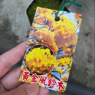 黃金風鈴木/洋紅風鈴木/3吋盆