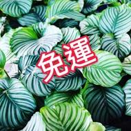 青蘋果竹芋  Calathea orbifolia 園藝 盆栽園藝
