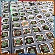 Fruncata Cooperi Mini กุหลาบหินนำเข้า ไม้อวบน้ำ Live Succulent Plant สินค้ามีจำนวนจำกัด