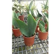 品種大寶扇虎尾蘭5吋盆中壢平鎮可以面交。實物拍攝