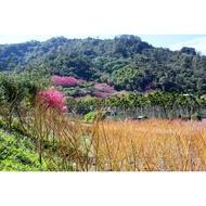 松雅園|2米高&加拿大黃楓、黃金楓、黃楓樹