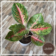 Aglaonema Boxing/Boxer Plant - Rare Indoor/Outdoor Healthy Live Plant with White Pot Mixed Soil and Pebbles - Talipapa