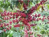 新鮮紅皮咖啡去皮機 咖啡去殼機 咖啡脫皮機