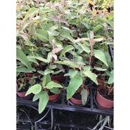 一禪種苗園-驅蚊No1. <檸檬桉(尤加利)>香草植物- 3吋盆
