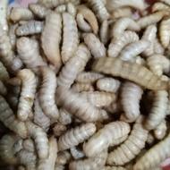 黑水虻幼蟲 4齡白色蟲體