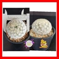 SALE !!พิเศษสุด ## แมมมิลาเรีย ไม้เมล็ด ขนาดพร้อมให้ดอก แคคตัส กระบองเพชร ไม้อวบน้ำ ##ต้นไม้ดอกไม้และเมล็ดพันธุ์