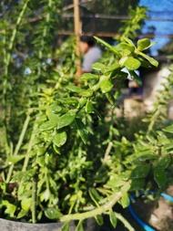 ตอเปอเรสเกีย ตัดสด คละ 6-12 นิ้ว 1 ตอ pereskiopsis Cactus แคคตัส กระบองเพชร ไม้อวบน้ำ ไม้กราฟ ราคาถูก