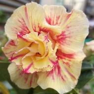 🌵多肉植物🌵重瓣沙漠玫瑰🌵碧血黃花🌵嫁接沙漠玫瑰