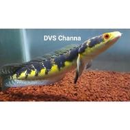 Channa Maru Yellow Riau 5-8cm random