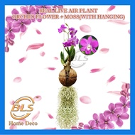REAL LIVE AIR PLANT ORCHID FLOWER + MOSS WITH HANGING HOME AND GARDEN DECOR PLANTS POKOK HIDUP